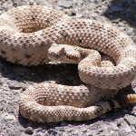 First Aid for Snake Bite