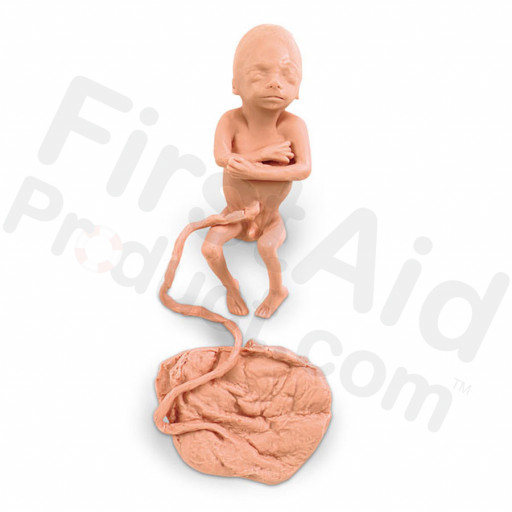 Human Fetus Replica - 5 Month Male