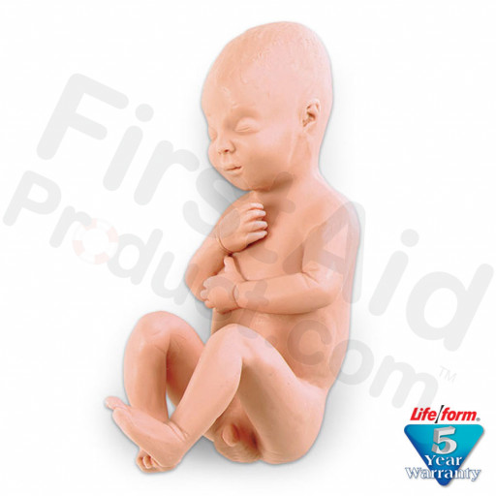 Human Fetus Replica - Full-Term Male