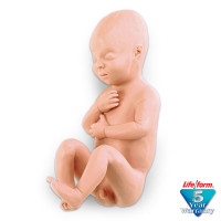 Human Fetus Replica - Full-Term Male