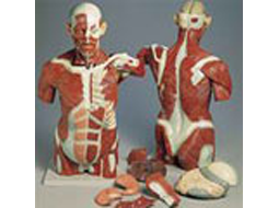 Anatomy Nodels - Anatomy for Pregnant Woman Model, Advanced Child Birth, Classic Unisex & Dual-Sex Torso, Lungs & Muscle Torso.