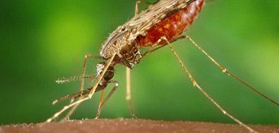 Image of mosquito biting skin